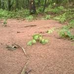 Abgespülter Maisboden im Wald