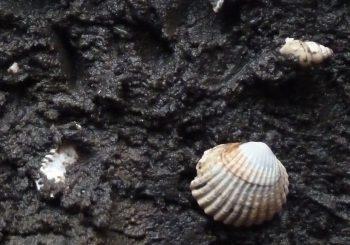 Faulschlamm in der Schlei – Die Bedeutung für einen guten ökologischen Zustand, Probleme und mögliche Lösungen