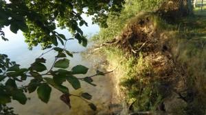 Aktives Kliff mit Abbrucheiche auf Hakenhöft