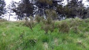 Ginsterbüsche als typische Verteter auf sandigen Böden