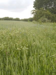 Weizen und Blumen