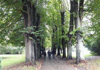 Alte Alleebäume der Zufahrt zu Louisenlund
