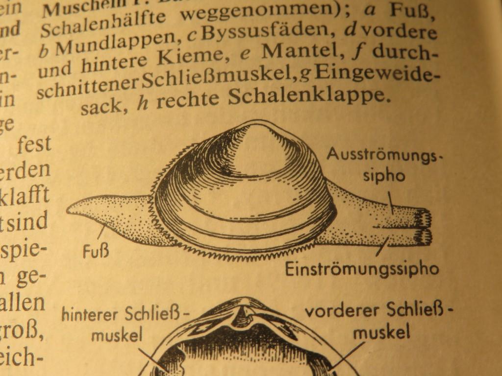 Quelle: Großer Brockhaus 1955