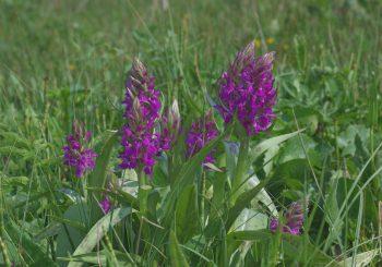 Ein kleinster Schritt auf dem Weg zur Vielfalt – Orchideenwiese am Ornumer Noor – langfristig durch das SIEZ<sup>®</sup> gepachtet